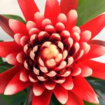 観葉植物のグズマニアにはどんな品種があるの?