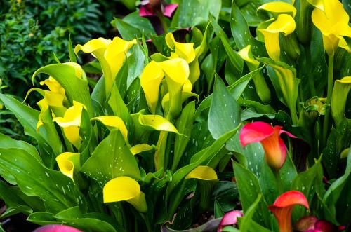 カラー 育て方 湿地性
