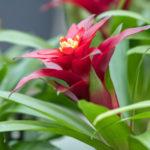 グズマニアの開花時期や花が咲いている期間は?