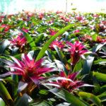 グズマニアの子株から花まで育てる方法やコツとは?