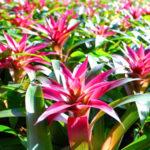 グズマニアの花が枯れる場合の育て方改善方法とは?