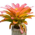 観葉植物のグズマニアの花言葉の意味や由来とは?