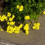 オギサリス・デッペイの花言葉の意味や由来とは?
