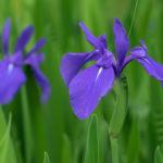 平安神宮のカキツバタの開花時期や見頃はいつ頃の季節?