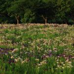 京都でのカキツバタの開花時期はいつ頃が見頃?