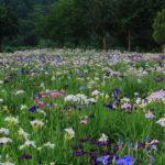 金沢市の兼六園のカキツバタの見ごろ時期はいつの季節?