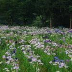 滋賀県高島市平池のカキツバタの開花情報時期や見頃は?