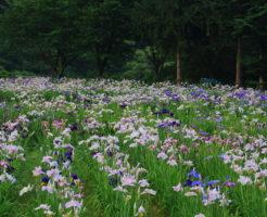 平池 カキツバタ 開花