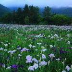 小堤西池のカキツバタの開花時期や見頃は?