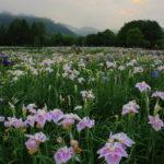 根津美術館の庭園のカキツバタの開花時期や見頃は?