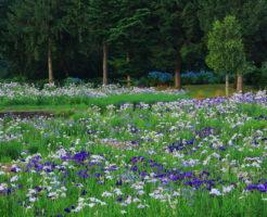 刈谷 かきつばた 開花