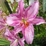 カサブランカの芽が発芽しない原因や対策はあるの?