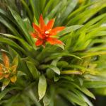 観葉植物 グズマニアの失敗しない育て方や枯らさないコツとは?