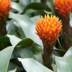 観葉植物 グズマニア エンパイアは何色の花?特徴は?