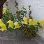 キンギョソウの花の学名や英語での書き方は!?
