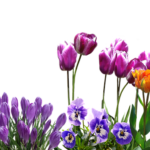 クロッカスの花壇での育て方や植え方とは!?