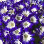 セントーレア シネラリアは何色の花?特徴は?