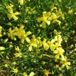 シネラリア ゴールデンシャワーは何色の花?特徴は?
