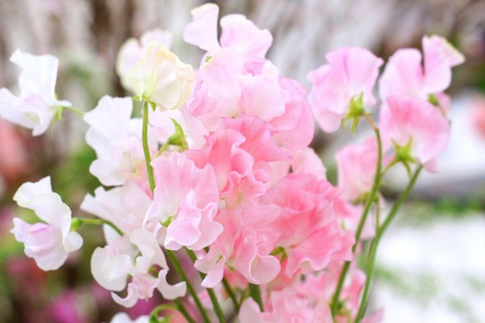 スイートピー 押し花 作り方