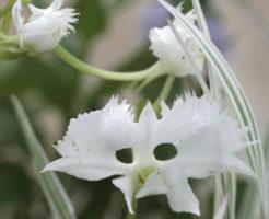 サギソウ 花 構造