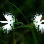 サギソウの開花時期はいつ頃?見頃の季節は?