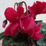 八重咲きシクラメンチモの育て方や夏越し方法について