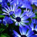 シネラリアの花言葉の意味や由来とは?