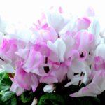 ガーデンシクラメンの花壇で育て方!