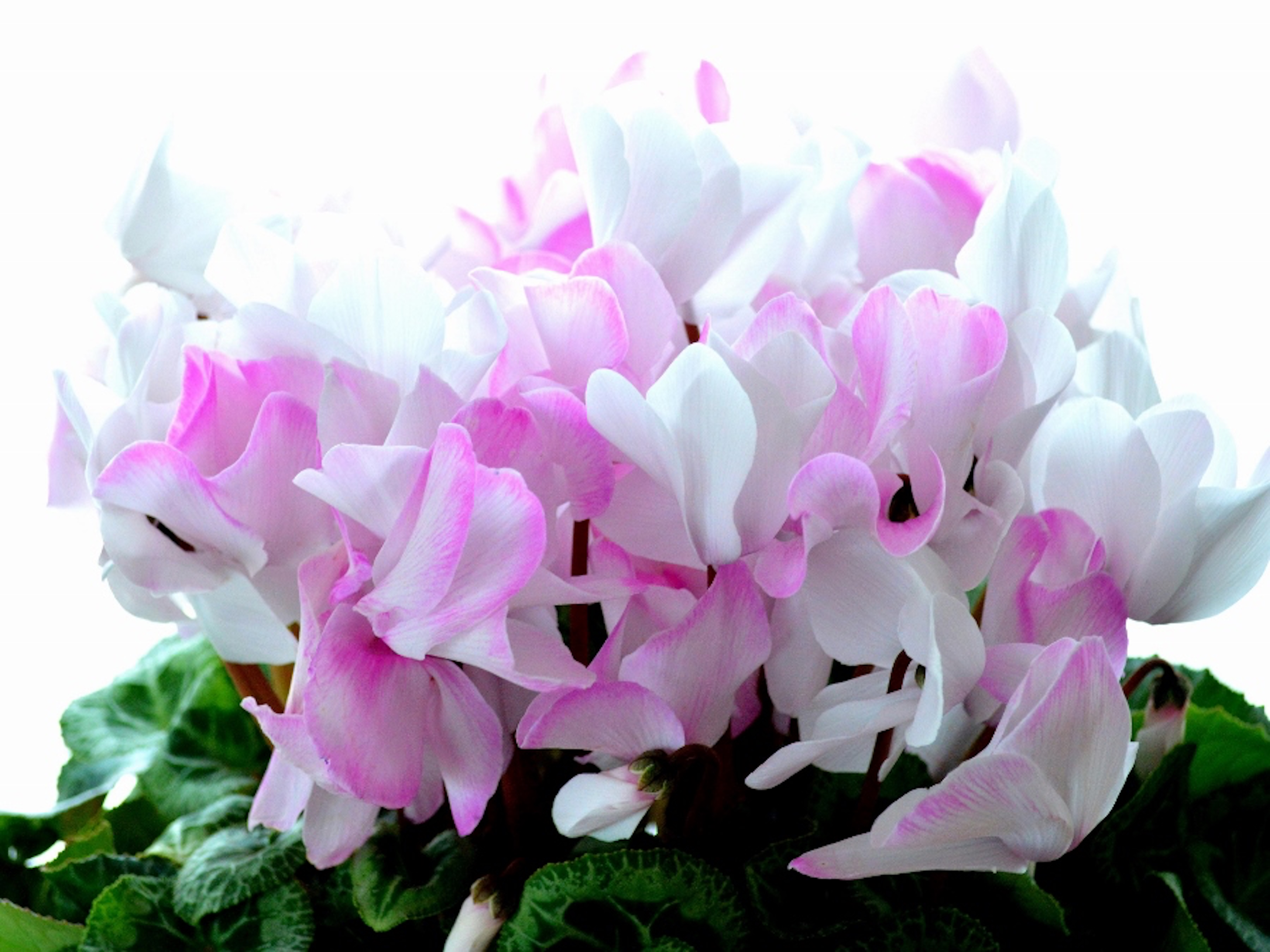 シクラメン 花壇 育て方