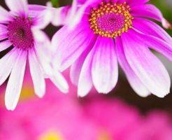 シネラリア ピンク