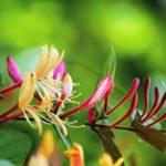 スイカズラの種まきに最適な時期はいつ頃の季節?