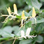 スイカズラの香りはどんな匂い?特徴や効能とは?