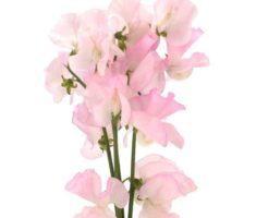 スイートピー ピンク 品種
