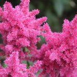 ピンク色のアスチルベの花言葉の意味や由来とは?