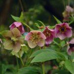 アネモネの寄せ植えで楽しむ!相性がいい花をご紹介!