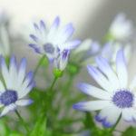 シネラリア サイネリアは何色の花?特徴は?