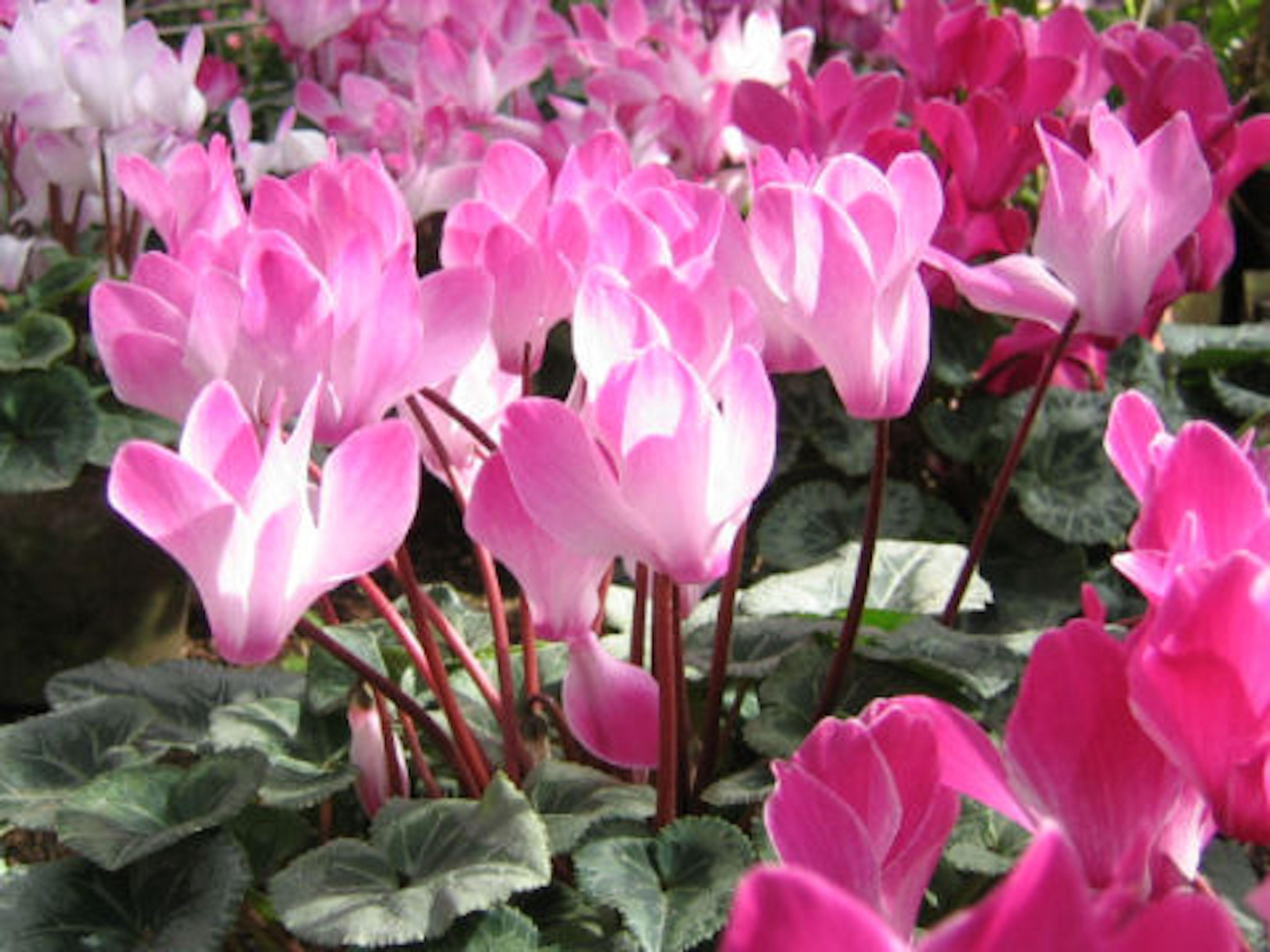 シクラメン 品種 ピンク
