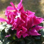小さめの花を咲かすシクラメン!コウムの育て方や種まき方法