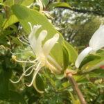 スイカズラは花の色で別名がある?