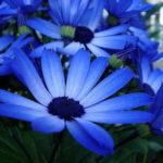 青色のシネラリアの花言葉の意味や由来とは?
