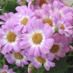 ピンク色のシネラリアの花言葉の意味や由来とは?