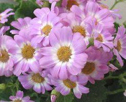 シネラリア ピンク 花言葉