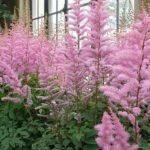 ピンク色のアスチルベの品種とは?どんな種類がある?