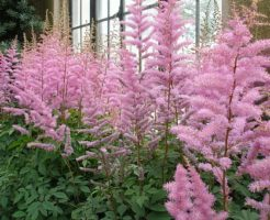 アスチルベ ピンク 品種