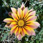 ガザニアの花の大きさや花びらの枚数など特徴を大公開