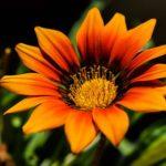 オレンジ色の花のガザニアの品種とは?どんな種類がある?
