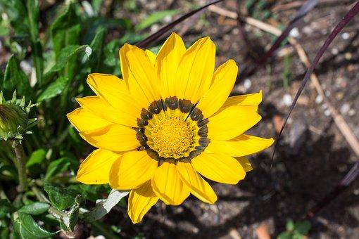 ガザニア 白 花言葉