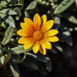 オレンジ色のガザニアの花言葉の意味や由来とは?