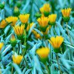 ガザニア・シルバーカーペットの花は何色?特徴は?