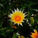 ガザニアの花が小さい場合の原因や対処方法とは?